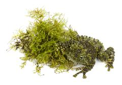 Mossy Frog next to Moss, Theloderma corticale, also known as a Vietnamese Mossy  - stock photo