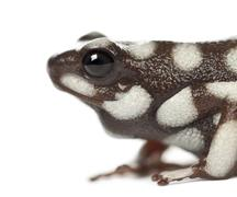 Marañón Poison Frog or Rana Venenosa, Ranitomeya mysteriosus, close up against - stock photo