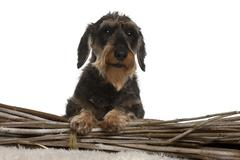 Dachshund, 8 years old, in front of white background - stock photo