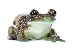 Amazon Milk Frog, Trachycephalus resinifictrix, portrait against white backgroun Stock Photos