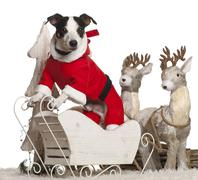 Jack Russell Terrier, 7 year old, in Christmas sleigh in front of white backgrou - stock photo