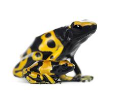 Yellow-Banded Poison Dart Frogs, also known as a Yellow-Headed Poison Dart Frog  - stock photo