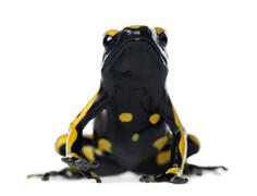 Yellow-Banded Poison Dart Frog, also known as a Yellow-Headed Poison Dart Frog a Stock Photos