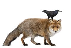 Old Red fox, Vulpes vulpes, 15 years old, and Rook, Corvus frugilegus, 3 years o Kuvituskuvat