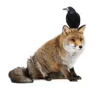 Old Red fox, Vulpes vulpes, 15 years old, and Rook, Corvus frugilegus, 3 years o - stock photo