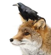Old Red fox, Vulpes vulpes, 15 years old, and Rook, Corvus frugilegus, 3 years o Stock Photos