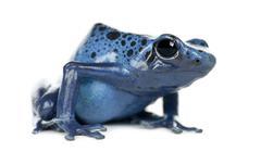 Blue and Black Poison Dart Frog, Dendrobates azureus, portrait against white bac Stock Photos