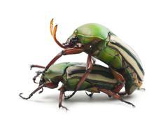 Mating Flamboyant Flower Beetles or Striped Love Beetle, Eudicella gralli hubini - stock photo