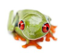 Red-eyed Treefrog, Agalychnis callidryas, portrait and close up against white ba Stock Photos