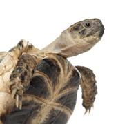 Young Russian tortoise, Horsfield's tortoise or Central Asian tortoise, Agrionem - stock photo