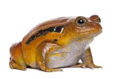 False Tomato Frog, Dyscophus guineti, against white background Stock Photos