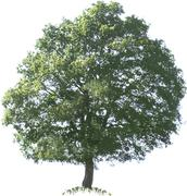 Oak Tree - stock illustration