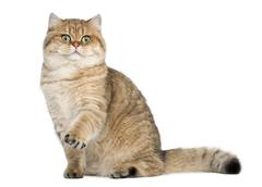 Golden shaded British shorthair, 7 months old, sitting against white background - stock photo