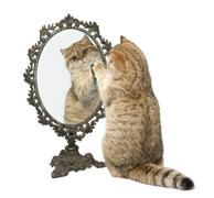 Stock Photo of Golden shaded British shorthair, 7 months old, playing with mirror against white