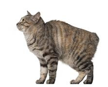 Side view of a Kurilian Bobtail, 1 year old against white background Stock Photos
