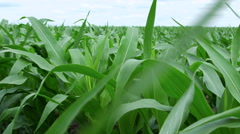Moving across rows of corn in farm field - stock footage