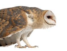 Stock Photo of Barn Owl, Tyto alba, 4 months old, standing close up against white background