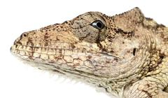 Stock Photo of Oriente Bearded Anole or Anolis porcus, Chamaeleolis porcus, Polychrus is a genu