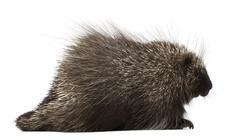 North American Porcupine, Erethizon dorsatum, also known as Canadian Porcupine o - stock photo