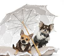 Chihuahuas, 1 year old, sitting under parasol against white background Stock Photos