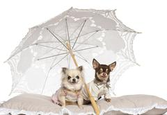 Chihuahuas, 2 years old and 4 years old, sitting under parasol against white bac - stock photo