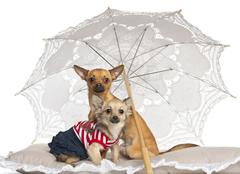 Chihuahua, 7 months old and 9 months old, sitting under parasol against white ba Stock Photos