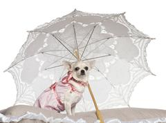 Stock Photo of Chihuahua, 1.5 years old, sitting under parasol against white background