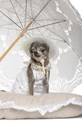 Chihuahua sitting under parasol against white background - stock photo