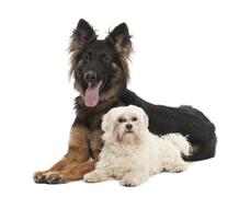 Maltese, 6 years old, and German Shepherd Dog, 18 months old, portrait against w - stock photo