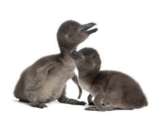 African Penguins, Spheniscus demersus, 3 and 5 days old, against white backgroun Stock Photos