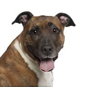 Portrait of American Staffordshire Terrier, 10 years old, in front of white back Stock Photos