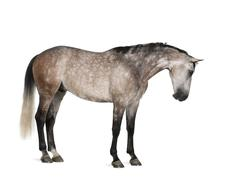 Belgian Warmblood horse, 6 years old, standing against white background Stock Photos