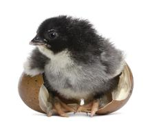 Marans chick, 15 hours old, standing in the egg from which he hatched out agains - stock photo