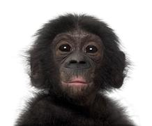 Baby bonobo, Pan paniscus, 4 months old, against white background Stock Photos