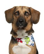 Dog, cross breed with a beagle, 2 years old, wearing neckerchief against white b - stock photo