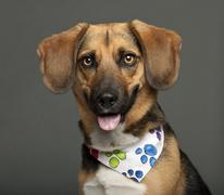 Dog, cross breed with a beagle, 2 years old, wearing neckerchief against white b Stock Photos