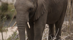 Two clip combo of baby Elephant eating Stock Footage