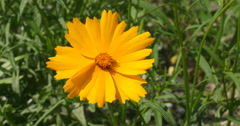Yellow Cosmos flower in a field Stock Footage