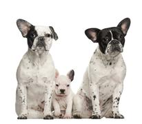 French bulldogs with puppy, 4 weeks old, sitting against white background - stock photo