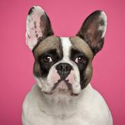 French Bulldog, 2 years old, against pink background - stock photo