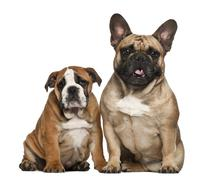 English Bulldog puppies, 2 and a half months old, sitting against white backgrou Stock Photos