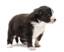 Australian Shepherd puppy, 24 days old, standing and looking right against white - stock photo
