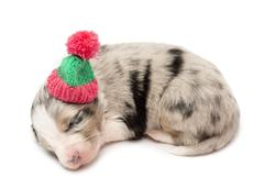 Australian Shepherd puppy, 21 days old, lying and wearing a winter hat against w Stock Photos
