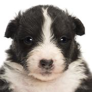 Close-up of an Australian Shepherd puppy, 22 days old, portrait against white ba - stock photo