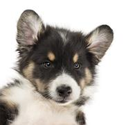 Close-up of an Australian Shepherd puppy, 2 months old, with ears up against whi Stock Photos