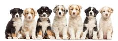 Front view of group of seven Australian Shepherd puppies sitting and looking at  Stock Photos