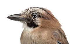 Eurasian Jay, Garrulus glandarius, 8 years old against white background Stock Photos