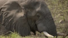 Three clip combo of an Elephant eating - stock footage