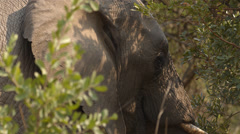 Two clip combo of an Elephant eating from a tree - stock footage