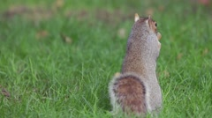 Squirrel eats sunflower seeds on the ground. Stock Footage